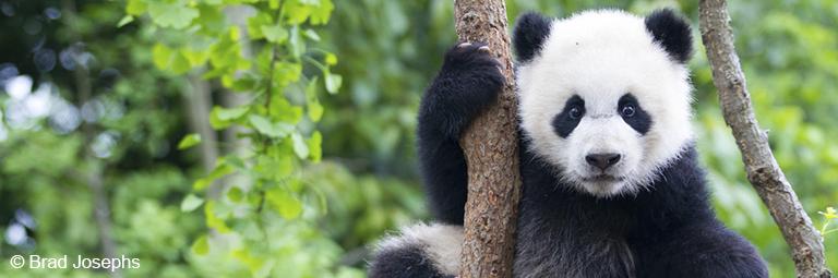 Panda WWF 768x255 RVB